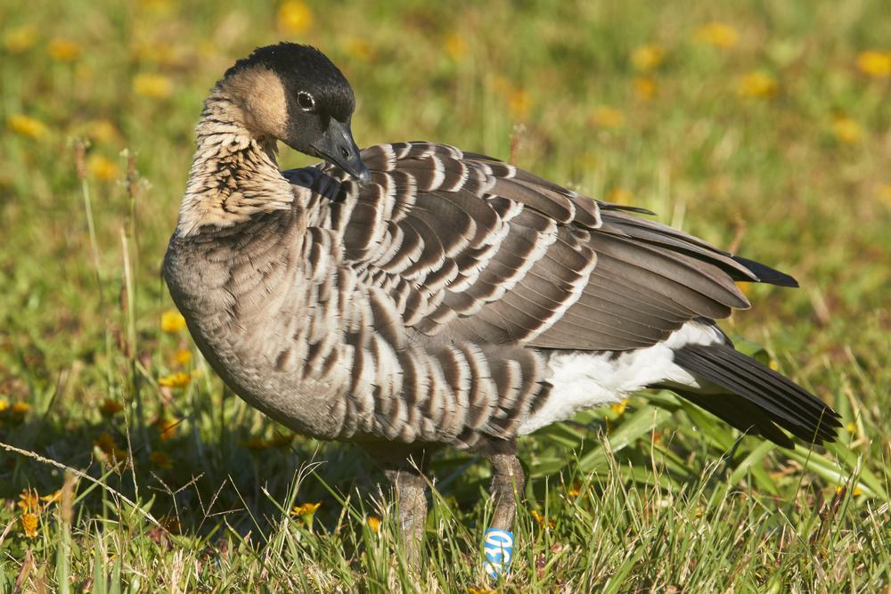 Hawaii's state bird, the Nene Goose