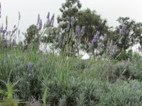 Kula thingtodo: Ali'i Kula Lavender Farm