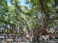 Lahaina thingtodo: Banyan Tree Park